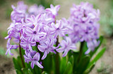 Beautiful spring flowers have a pleasant smell hyacinths