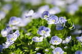 Veronica Small delicate flowers blooming outdoors