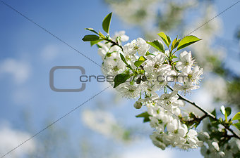 Spring plum branch blooming white flowers outdoors on a backgrou