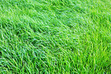 Green grass field background.