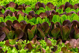 Green and red lettuce seedlings, spring cultivation