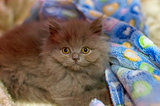 Little fluffy kitten looks at the camera close-up