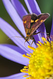 Mint Moth (Pyrausta aurata)