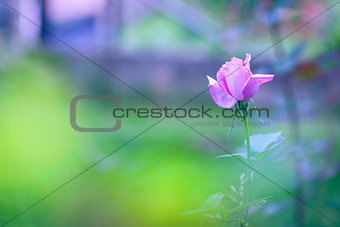 Beautiful purple rose lost in the summer garden