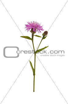 Brown Knapweed Centaurea jacea