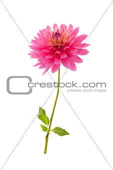 Single pink dahlia flower