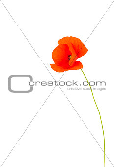 Single red poppy flower.