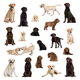 Large collection of Labrador, adult, puppy, different position