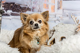Chihuahua sitting in winter scene, portrait