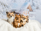 Three Chihuahuas sitting on white fur rug in winter scene