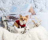 Chihuahua standing in sleigh looking at camera in winter scene