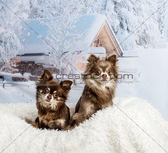 Chihuahuas sitting on fur rug in winter scene, portrait