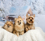 Pomeranian, Spitz and Yorkshire Terrier sitting together in wint