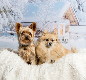 Pomeranian and Yorkshire Terrier sitting together in winter scen