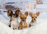 Chihuahuas sitting together on white fur rug in winter landscape