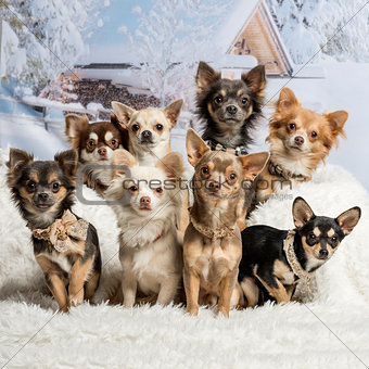 Chihuahuas sitting together in winter scene, portrait