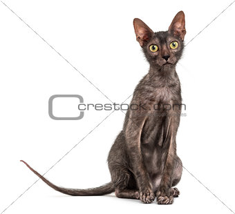 Lykoi cat, 7 months old, also called the Werewolf cat , against