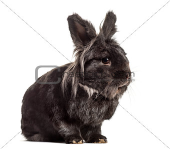 Black Rabbit, isolated on white