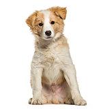 Border Collie puppy sitting against white background