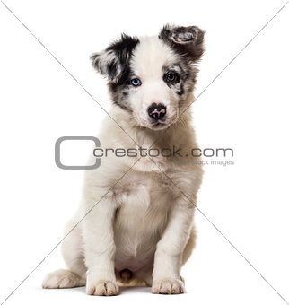 Border collie puppy, 3 months old, sitting against white backgro