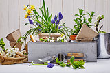 Gardening and floriculture spring flower with garden
