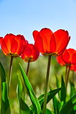 Spring red flower tulips bunch dutch flowers