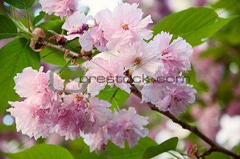 Beautiful japanese sakura blossom