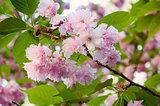 Sakura blossom in spring time