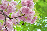 Pink cherry flowers and green leaves