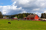 Cow Grazing on Green Pasture by Red Barn