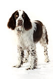 english springer spaniel on a snow in winter