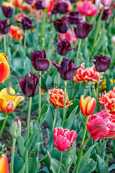 Tulip flower. Beautiful tulips flower in tulip field at spring day. Colorful tulips flower in the garden. Beautiful tulips flower for postcard and agriculture concept design. broken tulip flower