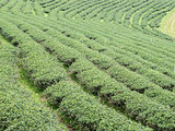 Organic tea rows on the hill.