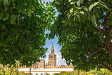 Giralda bell tower through orange tree courtyard in Sevillal, Spain