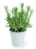 Rosemary plant in white pot