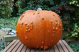 Big Thanksgiving pumpkin in an autumn garden
