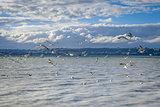 Seagulls on Rotorua lake , New Zealand