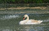 Swan in spring rain
