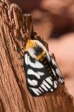 Hera buckmoth (Hemileuca hera subspecies magnifica)