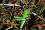 Full-body photo of grasshopper in habitat