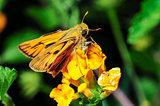 Fiery Skipper moth (Hylephila phyleus) in Camarillo, California
