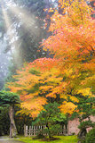 Morning Sun Rays on Japanese Maple Trees in Fall