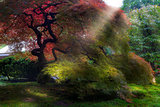 Morning Sun Rays on Old Japanese Maple Tree in Fall