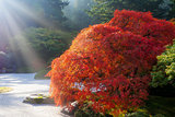 Sun Rays over Old Japanese Maple Tree