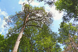 Evergreen pine trees in the park on a sunny summer day.