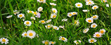 Spring daisy flowers background.