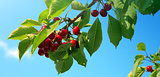 Cherries hanging on tree branch.