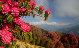 Mountains view with red rhododendron flowers in foreground