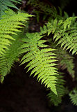 Young fronds of fern