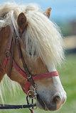 Purebred horse closeup